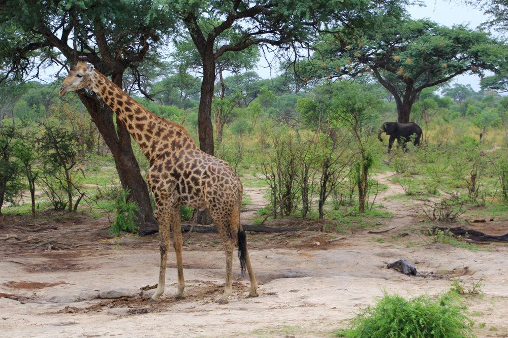 Yep, that's an elephant photobombing!