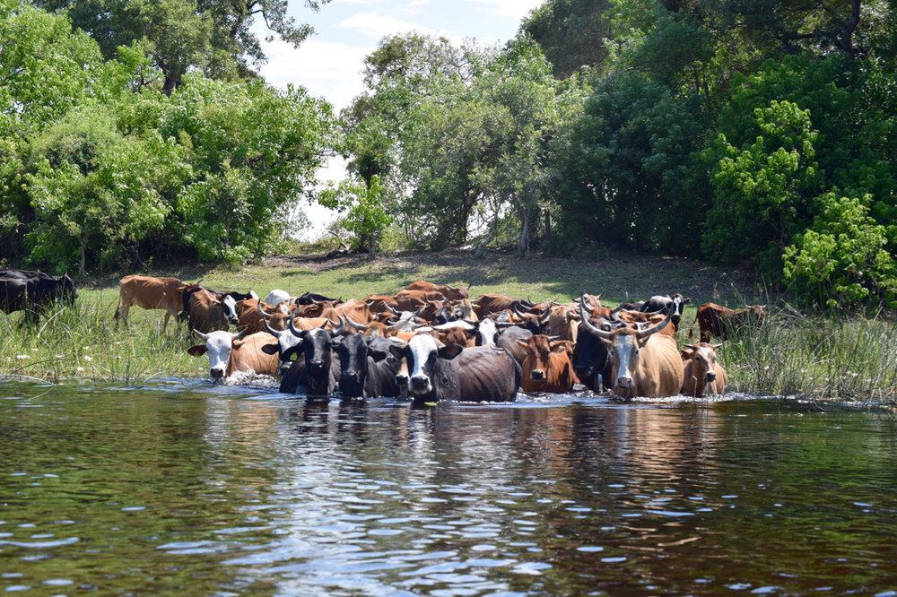 Traffic jam in the Okavango Delta