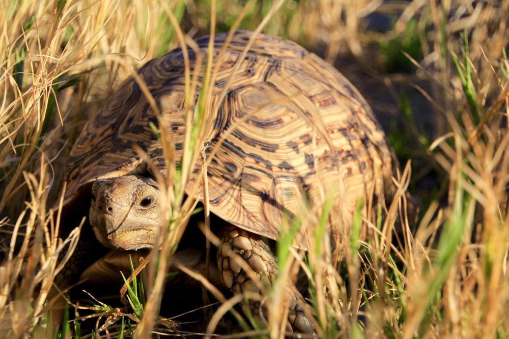 Tortoise Okavango Delta