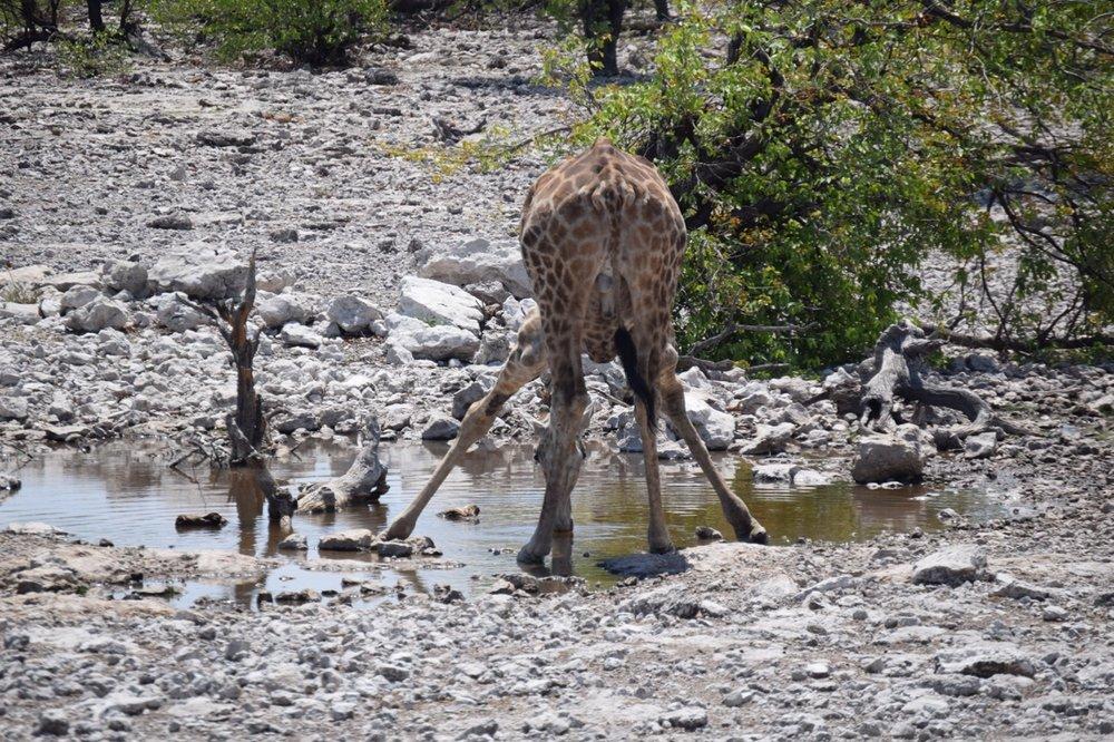 etosha giraffe awks 2.jpg