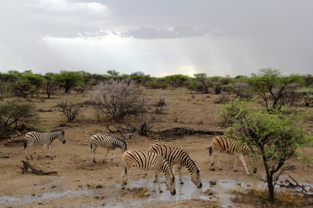 etosha zebra.jpg