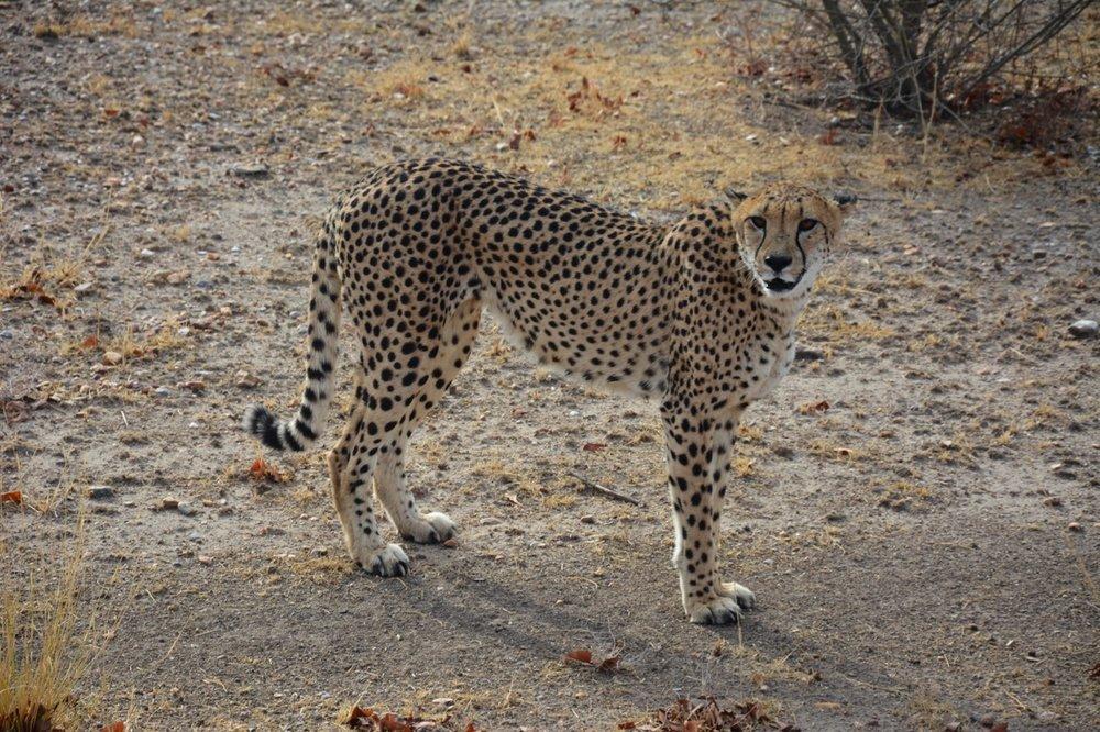 cheetah15.jpg