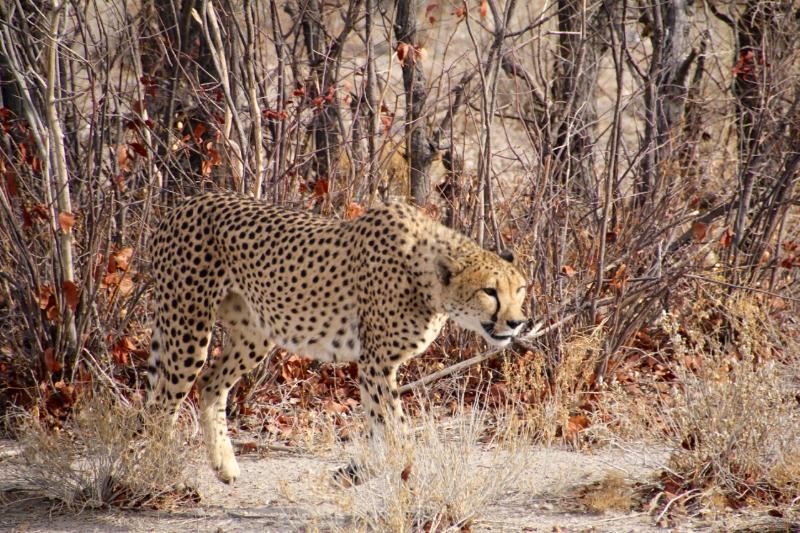 cheetah camouflage.jpg