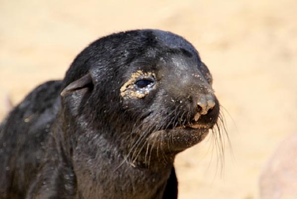Cape Coast Seal Namibia