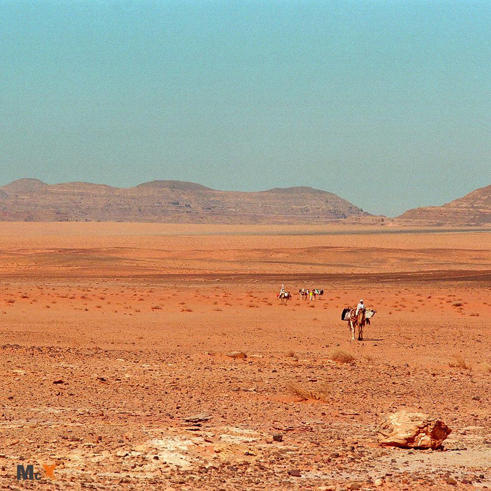 Camels trekking across the desert in the Sinai
