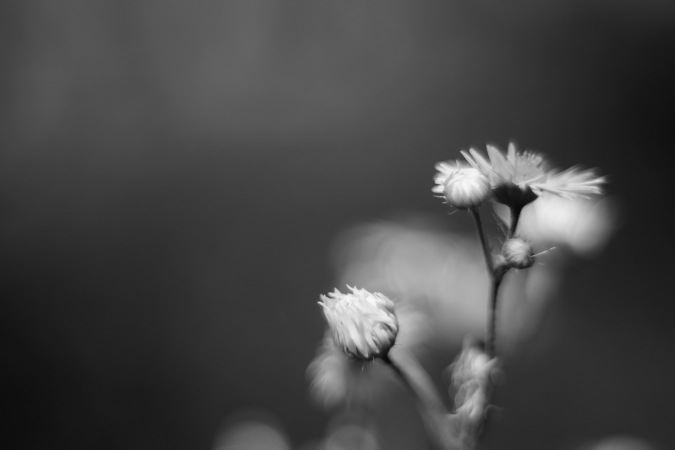 little-macro-flowers-in-black-and-white-by-Jenny-Diaz-Toronto-fine-art-nature-photographer