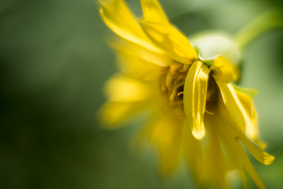 little-yellow-macro-flower-by-Jenny-Diaz-Toronto-fine-art-nature-photographer