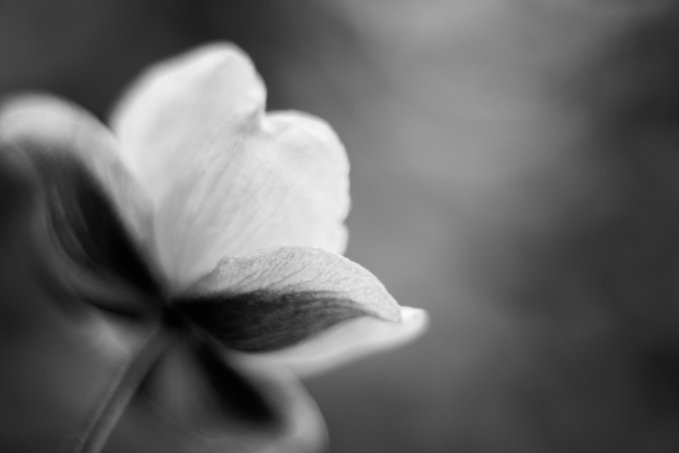 soft-macro-flower-in-black-and-white-by-Jenny-Diaz-Toronto-fine-art-nature-photographer