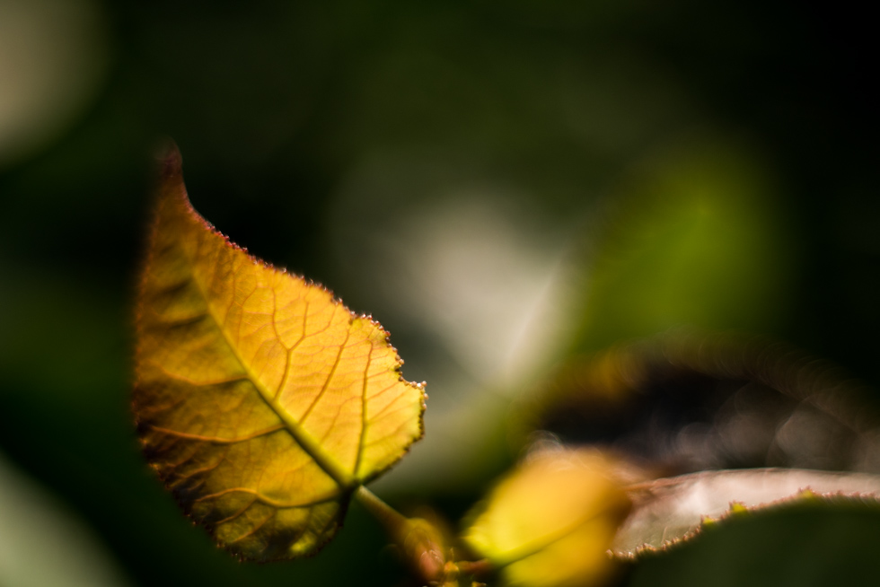 macro-fall-leaves-by-Jenny-Diaz-Toronto-fine-art-nature-photographer