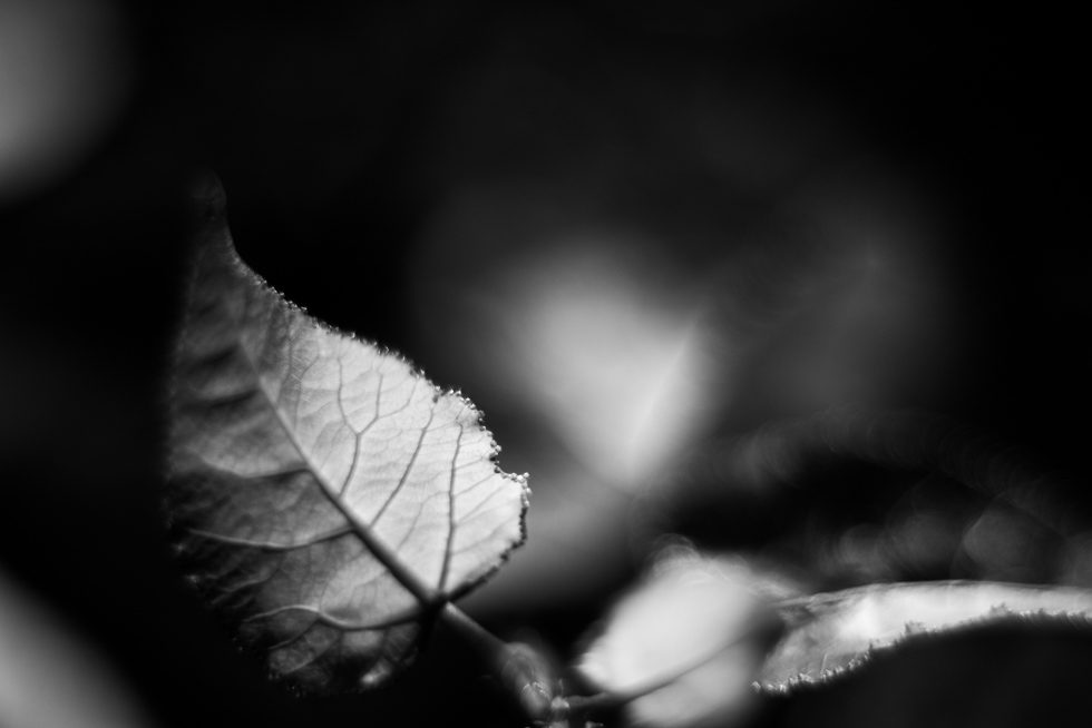 macro-fall leaves-in-black-and-white-by-Jenny-Diaz-Toronto-fine-art-nature-photographer