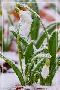 snowdrops in snow.jpg