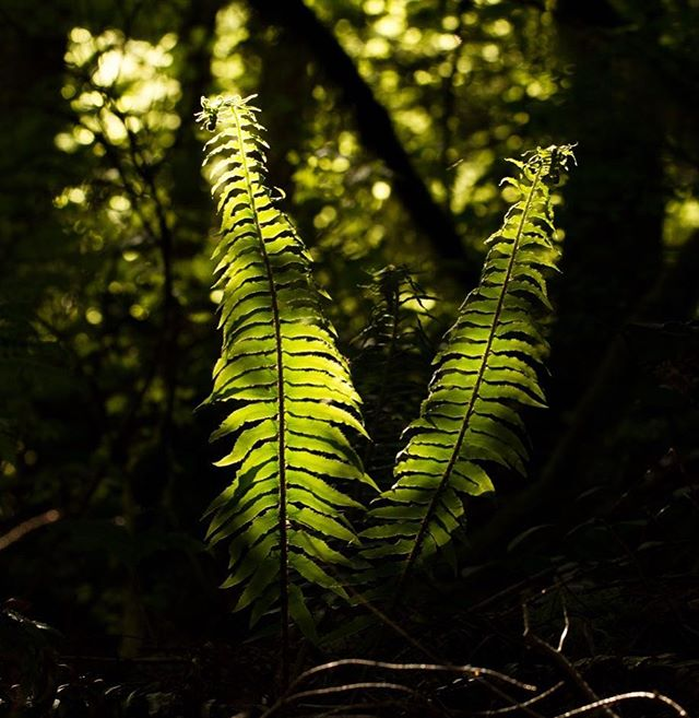 Sword Fern (Polystichum munitum) is probably the most abundant fern in this area. I love how backlit ferns show all the detail of the plant. . . . . . . . #SeattlePhotographer #PacificNorthwest #RattlesnakeLedge #WashingtonTrails #OptOutside #HikingPacificNorthwest #Hiking #SnoqualmieRegion #NorthBend #Fern #SwordFern #PolystichumMunitum #PNWDiscovered #OurLonelyPlanet #CascadiaExplored #FernMagic #TheNWAdventure #PNWAdventures #PNW #WildernessCulture #IG_Shotz #BacklitPhotography #BacklitPlants