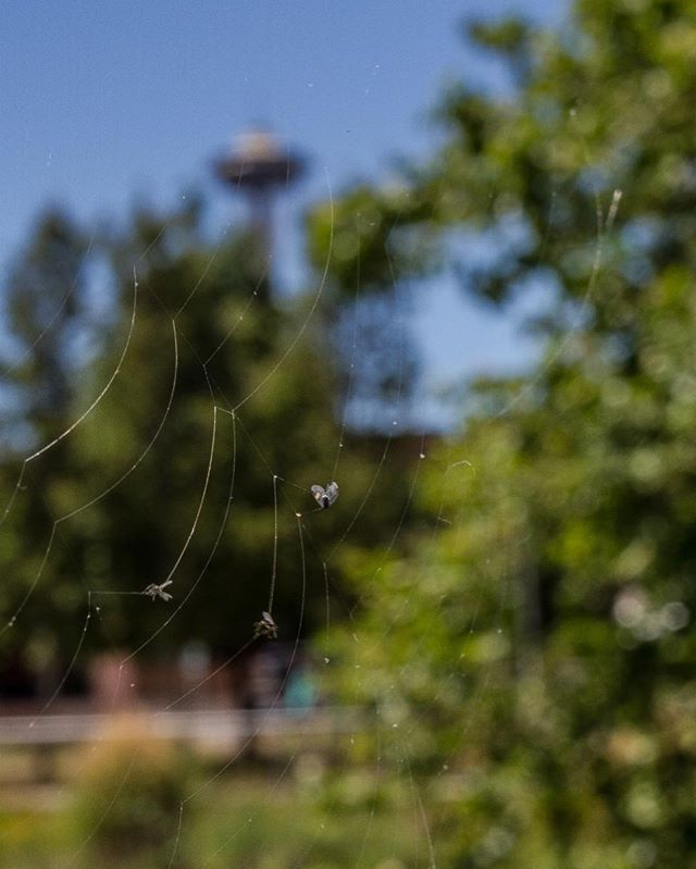 I would assume this was how the trapped bugs saw the Space Needle. . . . . . . . #SeattlePhotographer #StreetOfSeattle #PacificNorthwest #Seattle #SouthLakeUnion #StreetPhotography #SpaceNeedle #SpiderWeb