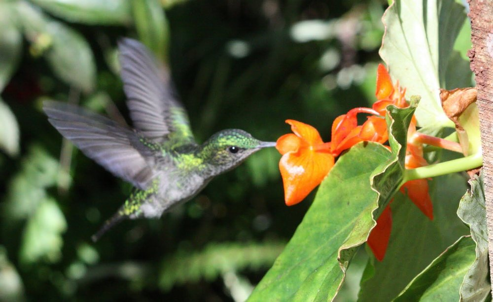 Hummingbird and flower in Peru