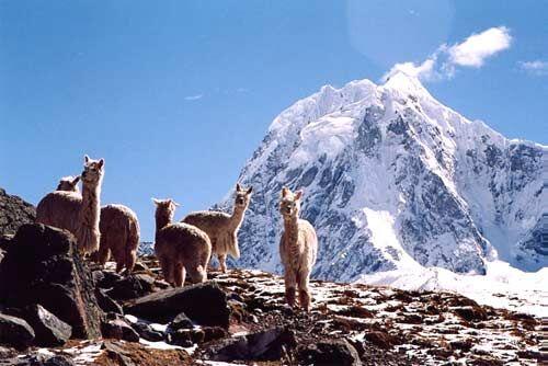 Llamas on trek to Machu Picchu