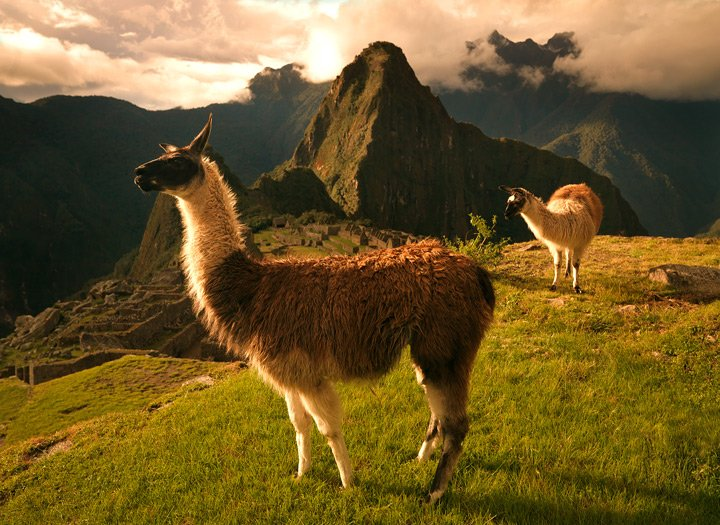 (These are real Peruvian llamas)