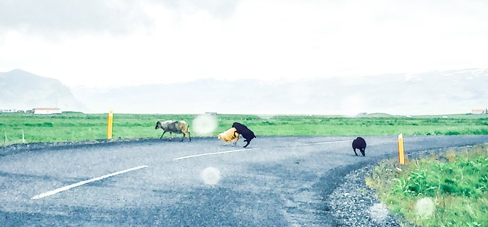 rams  crossing the road…or are they?