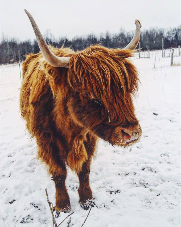 A Scottish Highland cow enjoys the snow. (Photo: Emily Hoffman)
