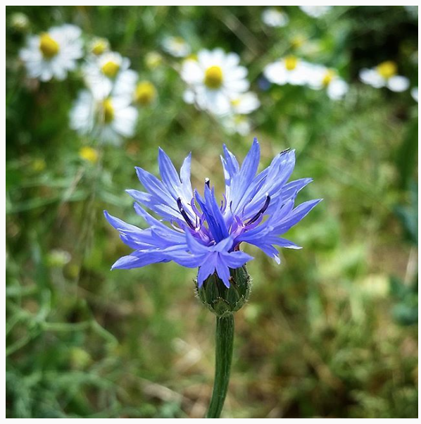 Cornflowers are one of my favorites!