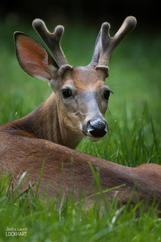 Deer Waking from Sleep