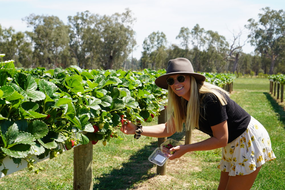 PICKING A FEW JUICY ONES AT BIDGEE STRAWBERRIES