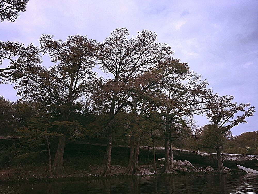 bald cypress trees at upper falls