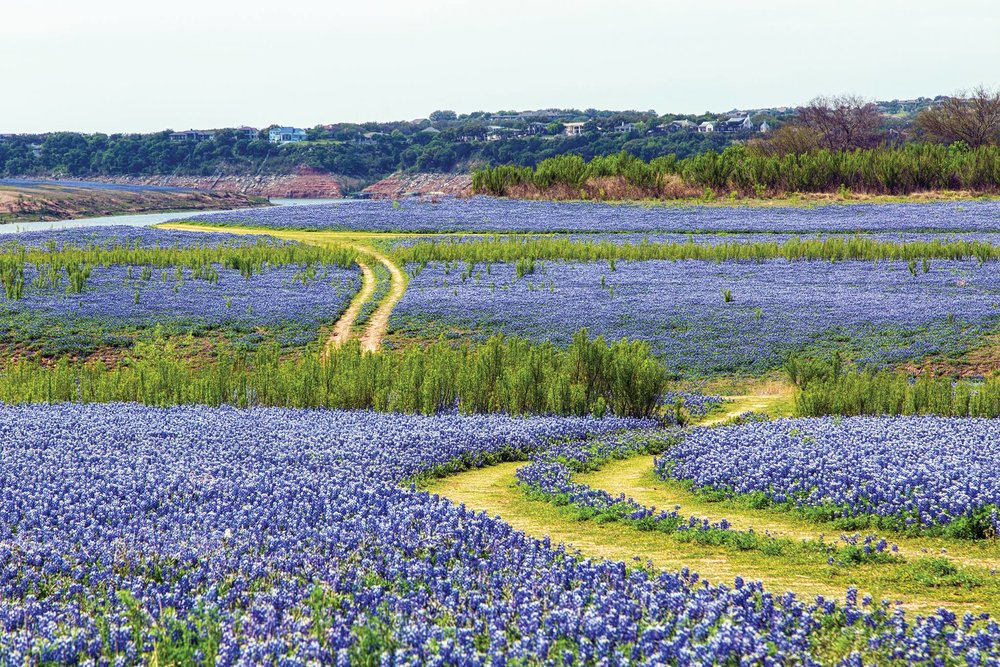 Photo; bluebonnets at muleshoe bend  facebook.com/lowercoloradoriverauthority/