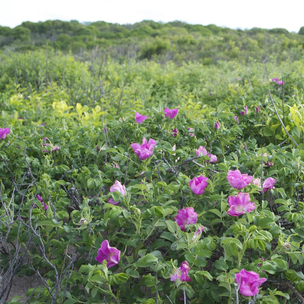 pink dune flowers.jpg