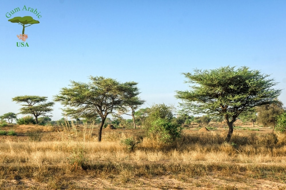 Acacia Gum Gum Arabic Usa 202 630 8738 Rated 1 Acacia Gum