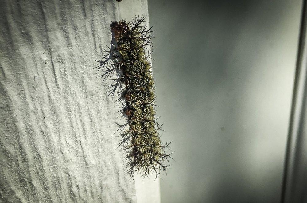 Buckmoth caterpillar.jpg