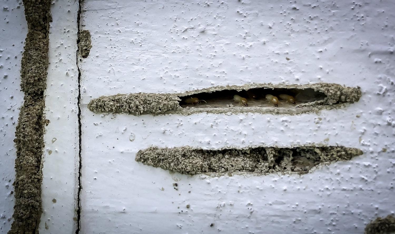 Tips For New Orleans Termite Control Formosan Termites Dial One Franklynn Pest Control