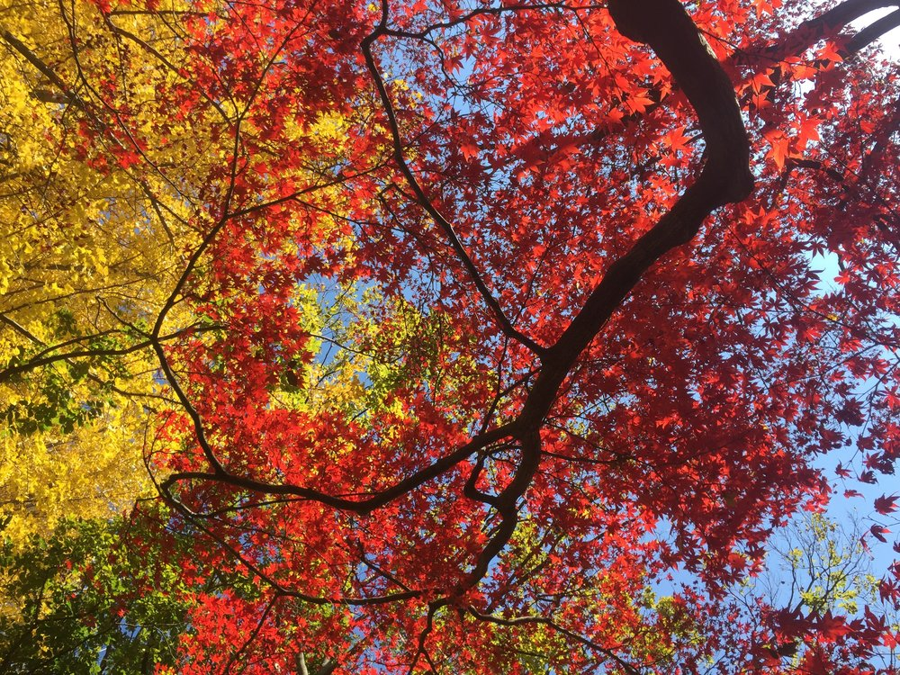 Leafs exhibit beautiful colors during Autumn in the many parks of Tokyo