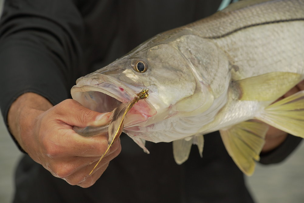 Snook fly fishing ten thousand islands