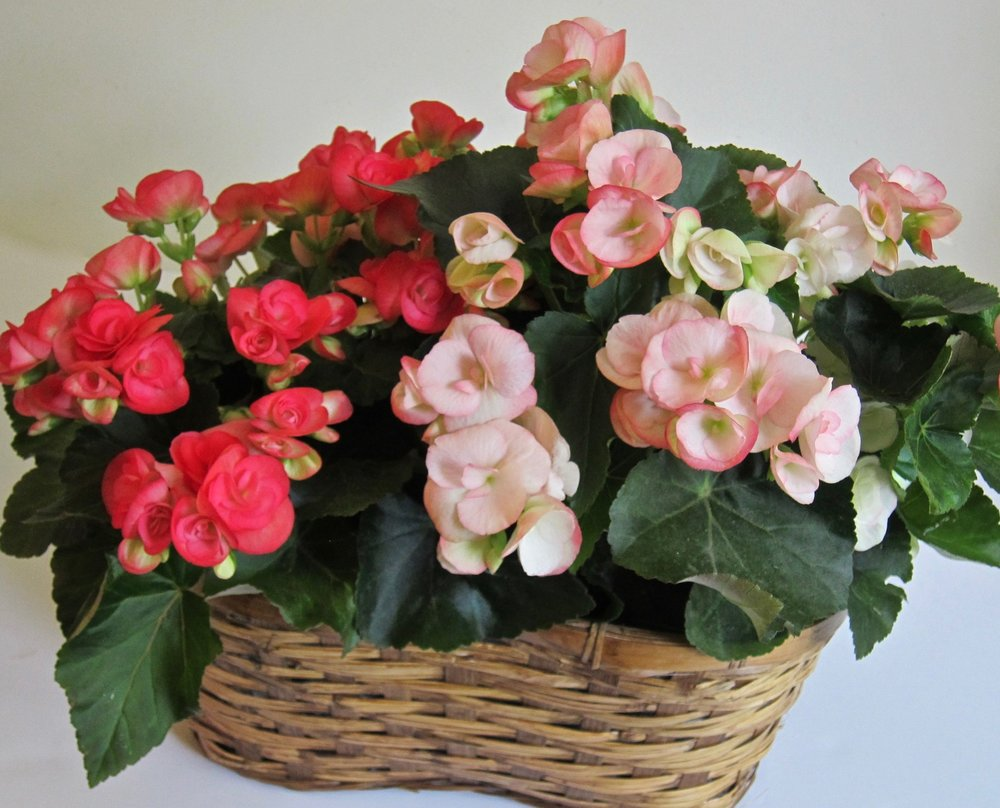 "PLANTS IN A BASKET   Waterproof liner displays two blooming plants and measures 21"" long by 15"" high. Sourced from local growers, long-lasting,  low light requirements, $49 to $69."
