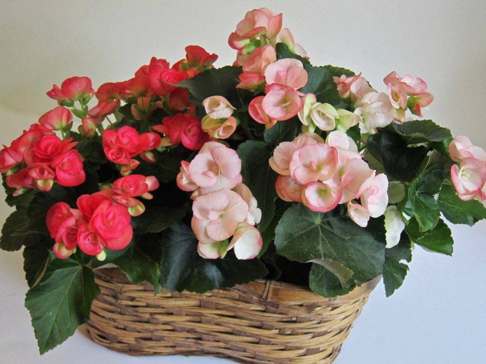 """BLOOMING PLANT BASKET   Waterproof lined basket displays two blooming plants and measures 21"""" long by 15"""" high. Sourced from local growers, long-lasting, $49 to $69."""