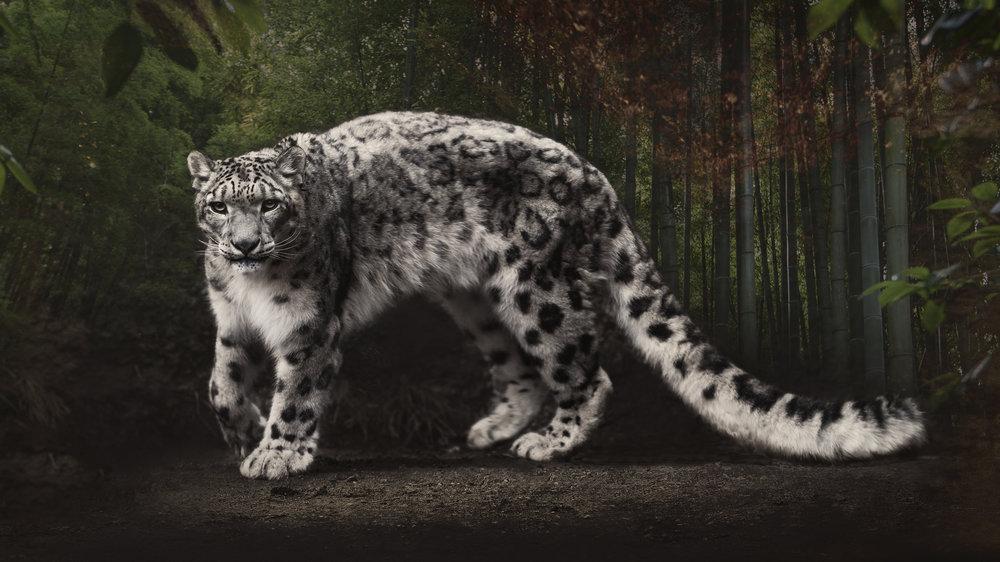 snowleopard1.jpg