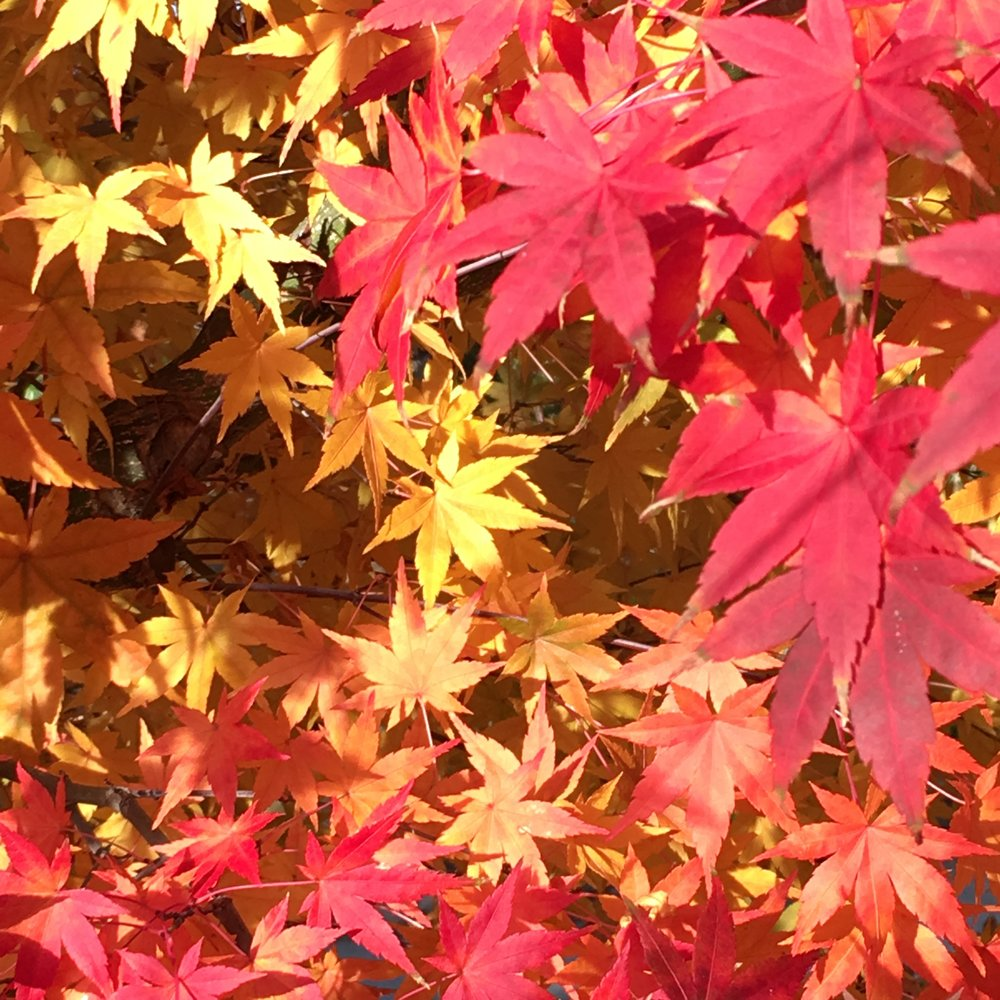Japanese Maple 3