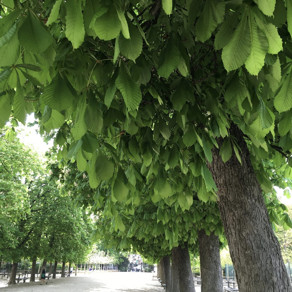 Plantain Trees in the Luxembourg Gardens