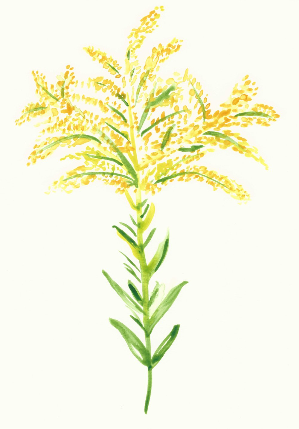 Watercolor Goldenrod