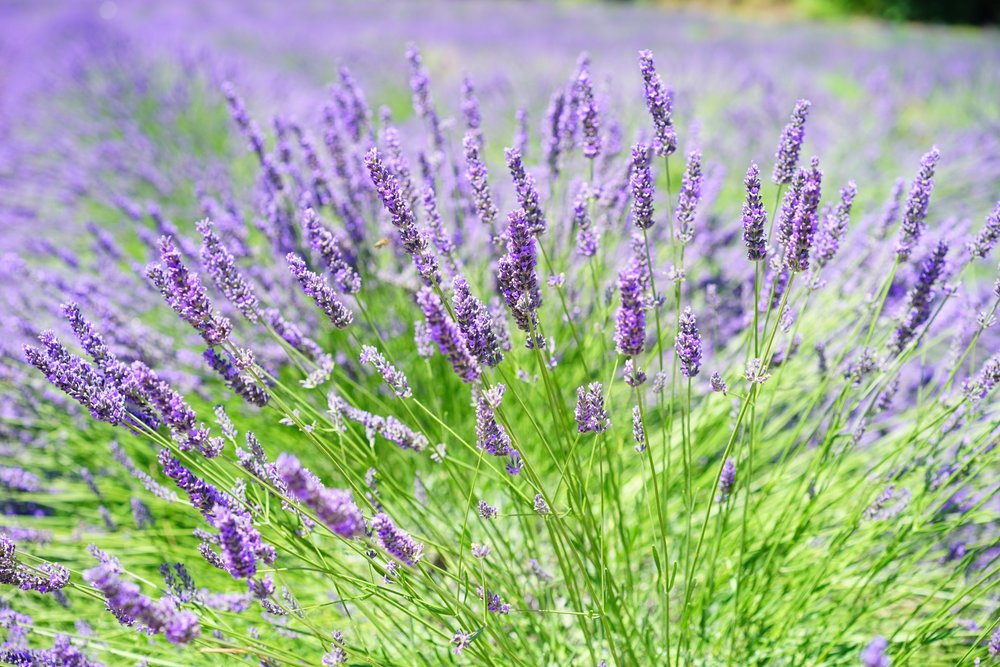 Lavender Essential Oil - Relaxing and Calming