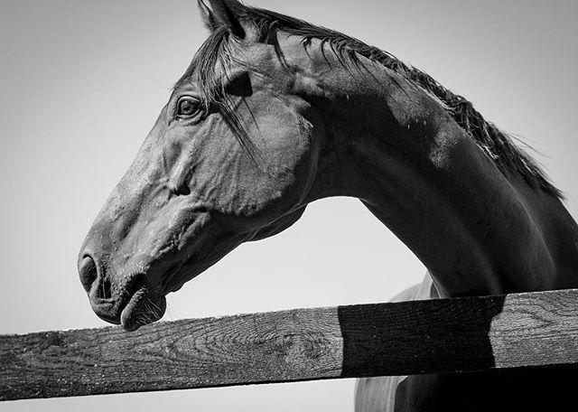 What a distinguished profile!#horsesofinstagram #bwphoto #blackandwhitephoto #middleburginbw #middleburgva #middleburg