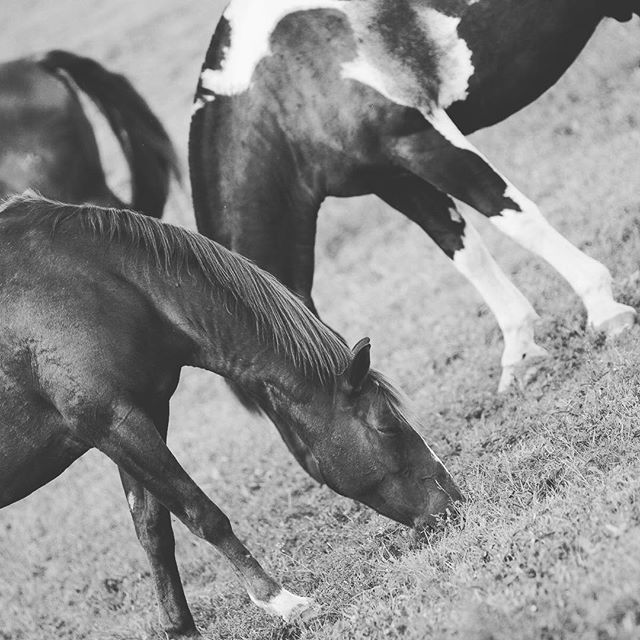 @salamanderresort horses providing a cool optical illusion... #salamanderexperience #middleburgva  #middleburg #middleburgmoment #bwphoto ##canon7d