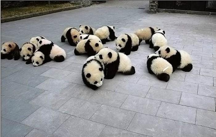 Cute-panda-babies-700x442