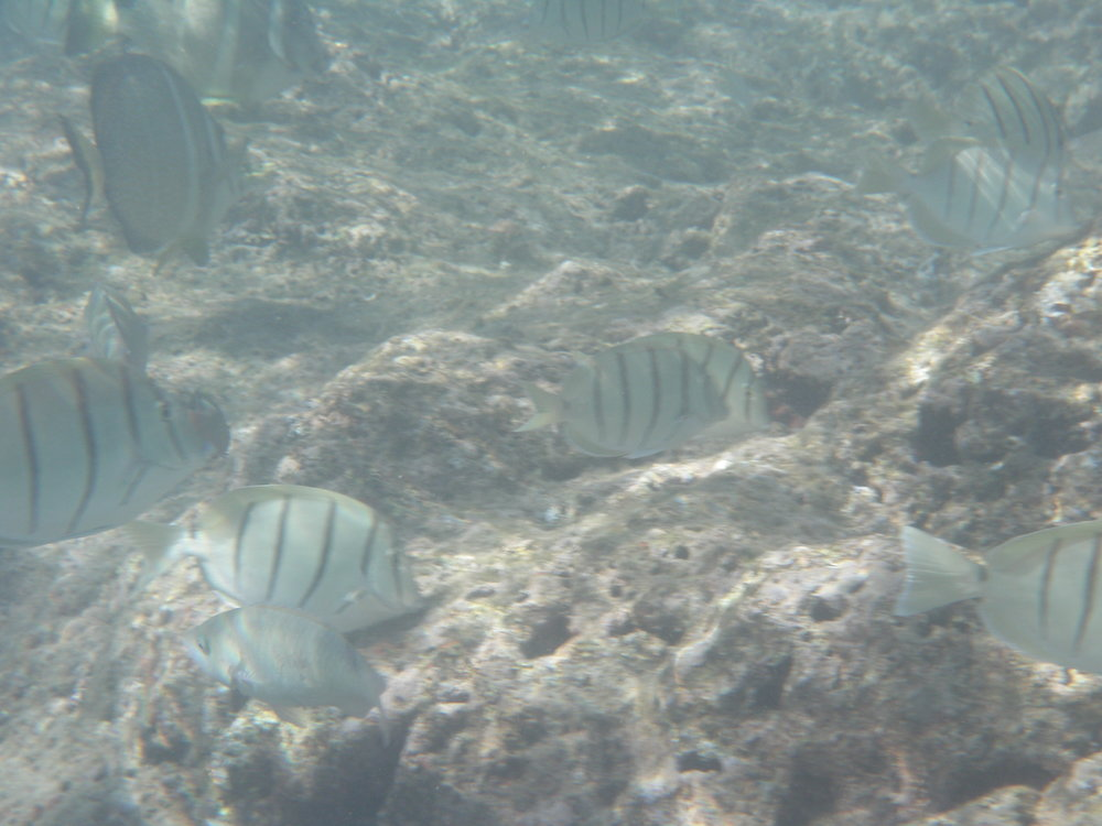 http://www.hawaiinewsnow.com/…/scientists-deliver-alarming-…   This picture above is a picture of the reef at Hanauma Bay. In as a matter of fact most of the reef in Hanauma Bay looks like this. No matter how much fish is there, the reef will always look like this.  Yesterday on 2 November 2017 we attended a conference at the State Capitol, where scientist talked about fish, coral, climate change, and potential laws. Here are a couple points from the fishing presentation, hopefully to dispel the myth that there are 90% less fish today then there was in 1900.  Dr. Friedlander stated in his discussion that there are 90% less fish in Hawaii based on Commercial catch data since 1900. This statement stuck with news reporters and certain legislators. However, if you look at the data, there are certain events and situations that caused less fish to be caught by commercial fishermen. Friedlander did not take into account or choses not to take into account that early 1900 accounted for Ahi, Aku, Marlin and other Palagic fish, which made the numbers super high. Then they separated the Pelagic and reef fish. This alone accounted most of the 90% decline. As a scientist when talking about reef fish, this guys should have factored this in.  Then Dr. Friedlander also stated that the population of ulua dropped dramatically based on the commercial fish catches. Well another factor he did not take into account was Ciguatoxin, which accounted for the massive drop in the capture of Ulua.  On top of that he stated that there was a massive drop in Oio or bonefish. This too was based on commercial catch reports. Back in the day people loved eating oio, today not the same. The price of bonefish is not worth the time to commercial fishermen. Therefore the bonefish were not targeted.  Finally he talks about moi and how there was a missive drop in the population based on commercial catch reports. Again the laws changed, which eliminated that fisheries.  What is the motive of Dr. Friedlander? Why would he report to legislators false data?  Dr. Friedlander also stated that he would like to see permanent MPA where no fishing was allowed in order to protect the reefs. In as a matter of fact, he would like to see no fishing on 30% of the coast line. Yet if you listed to the coral reef presentation by NOAA, they didn't even mention fishing as a way to protect the reefs-Not Once!  The reef is really resilient. Most the the 50% of reef that the scientist talk about has bounced back. I've seeing it with my own eye. Yet the news and legislators are making it seem like an all or nothing approach to protect the reefs. Not targeting the real cause of reef degradation-run off, sewage, and sedimentation. They picked alleged overfishing to fix the reef problem.  Where did the money for the 25,000 dives surveys come from? If you follow the money you will see that most of the funding comes from organizations that want to ban fishing all together.  It is pretty ironic that the Nature Conservancy has fenced off hundreds of thousand of acres in the forest and killed massive amounts of game animals via arial eradication, which effectively took food away from the local population. Now they are utilizing data that they created and scientist that they like in efforts to closed off fishing to our local population. So what are we left with. I guess their mentality is hiking and watching birds, or snorkeling is more important than the survival.  What is wrong with our current rules that are published? We have seasonal closures, size limits, bag limits and more. There is room for some improvement, but not to the extent suggested by legislators that put on this fiasco.