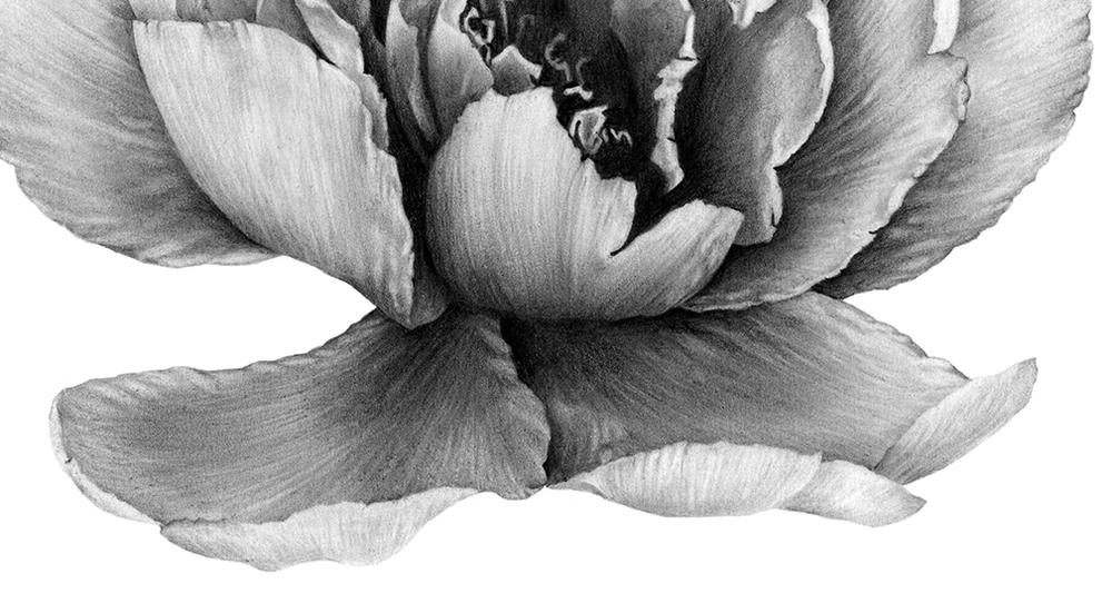 laura-eddy-drawing-peony-flower-closeup-01.jpg
