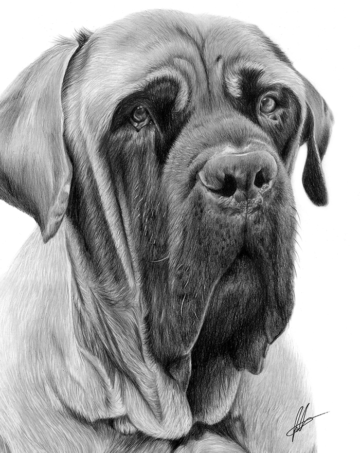 laura-eddy-drawing-george-english-mastiff-closeup-01.jpg