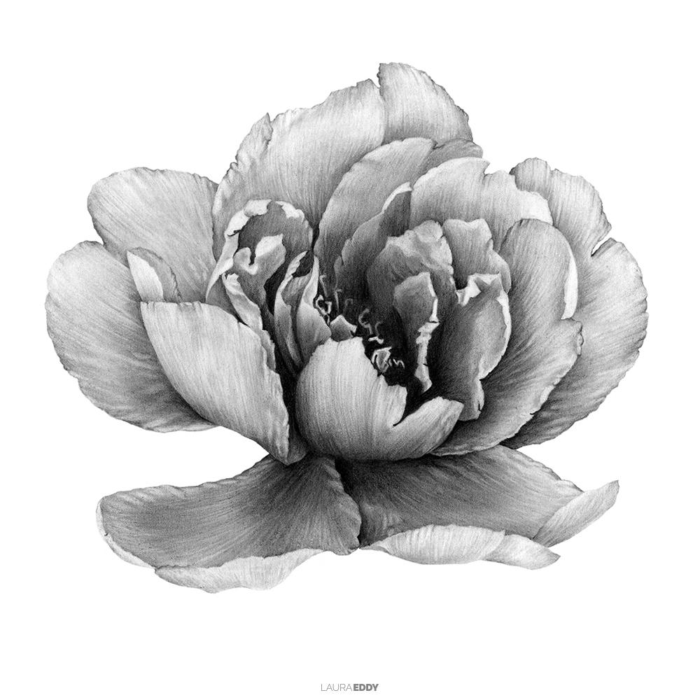 laura-eddy-drawing-peony-flower-branded-square.jpg