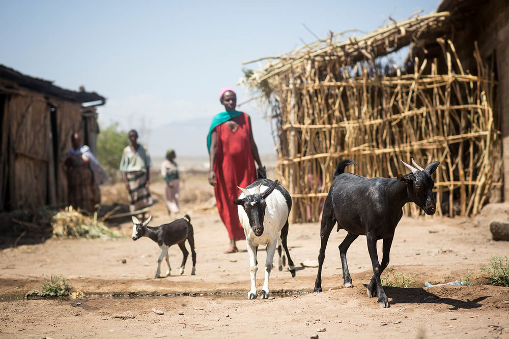 Almaz Tumero used her loan to buy sheep and goats for 400 birr and selling them for 900 birr.