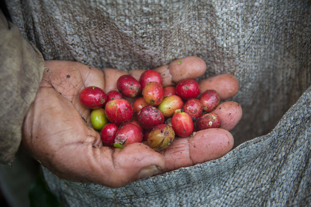 Harvested coffee cherries in Indonesia.