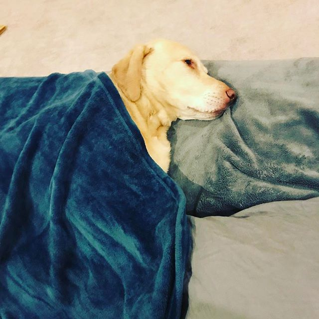 The kids' new favorite thing around here is tucking the dog in with a blanket whenever they find him napping...and believe me he's napping all the time...and he's not complaining one bit. #dogs #doglife #goals 💤💤💤